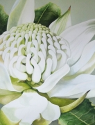 White Waratah Watercolour on Arches Paper Framed Size: 103.5cm x84cm SOLD