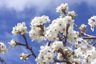 white blossoms blue sky